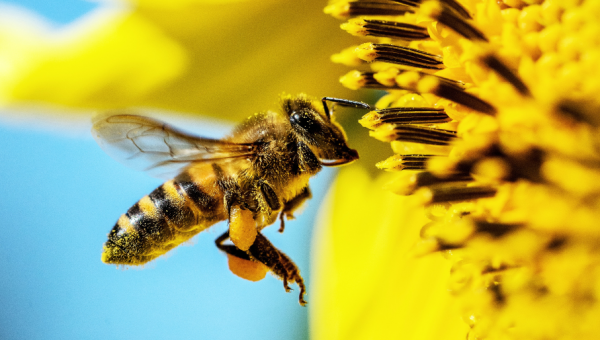 PUCRS researcher studies preservation of pollinating agents
