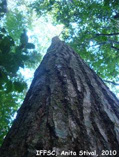 Cedrela fissilis – cedro