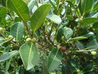 Ficus cestrifolia