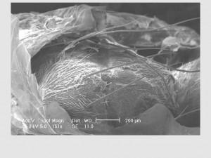 Microscopia de Varredura - Mosca saindo de seu pupário