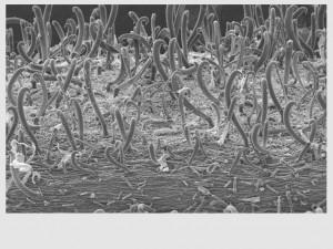 """Microscopia de Varredura - Superfície do """"pega-pega"""""""