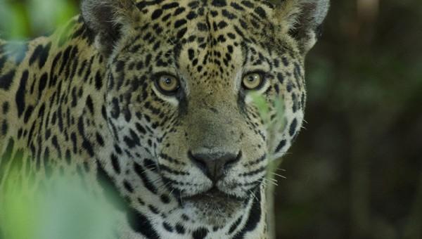 El cruce del jaguar y del león en el passado