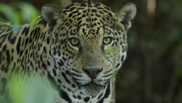 Crossbreed of jaguars and lions have originated new species