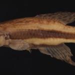 Cynopoecilus fulgens MCP 26929