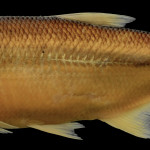 Oligosarcus jacuiensis MCP 28980