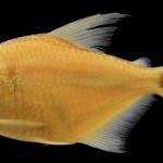 Tetragonopterus akamai MCP 48033