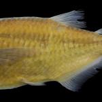 Triportheus pantanensis MCP 35006