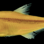 colecoes_cientificas-peixes-holotipos-acestrocephalus_nigrifasciatus-mcp30420-01