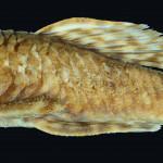 colecoes_cientificas-peixes-holotipos-ancistrus_claro-mcp28667-02