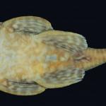 colecoes_cientificas-peixes-holotipos-ancistrus_claro-mcp28667-03
