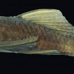 colecoes_cientificas-peixes-holotipos-ancistrus_cuiabae-mcp28671-02
