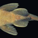 colecoes_cientificas-peixes-holotipos-ancistrus_cuiabae-mcp28671-03