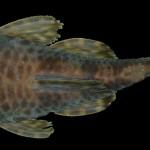 colecoes_cientificas-peixes-holotipos-ancistrus_jataiensis-mcp35244-01