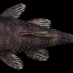 colecoes_cientificas-peixes-holotipos-ancistrus_parecis-mcp35570-01
