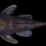 colecoes_cientificas-peixes-holotipos-ancistrus_reisi-mcp34818-01