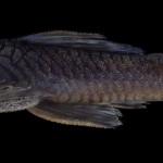 colecoes_cientificas-peixes-holotipos-ancistrus_reisi-mcp34818-02