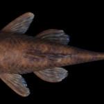 colecoes_cientificas-peixes-holotipos-ancistrus_tombador-mcp33000-01