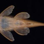 colecoes_cientificas-peixes-holotipos-ancistrus_tombador-mcp33000-03