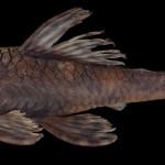 colecoes_cientificas-peixes-holotipos-ancistrus_verecundus-mcp35573-02