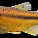 colecoes_cientificas-peixes-holotipos-astyanax_brachypterygium-mcp26094-01
