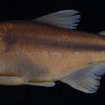 colecoes_cientificas-peixes-holotipos-astyanax_cremnobates-mcp26093-01