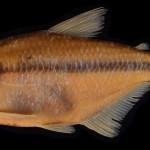 colecoes_cientificas-peixes-holotipos-astyanax_dissensus-mcp47000-01
