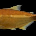 colecoes_cientificas-peixes-holotipos-astyanax_elachylepis-mcp37568-01