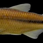 colecoes_cientificas-peixes-holotipos-astyanax_microschemos-mcp37569-01