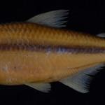 colecoes_cientificas-peixes-holotipos-astyanax_pelecus-mcp37570-01