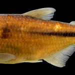 colecoes_cientificas-peixes-holotipos-astyanax_pirabitira-mcp47707-01