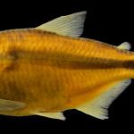 colecoes_cientificas-peixes-holotipos-astyanax_procerus-mcp47002-01