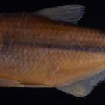 colecoes_cientificas-peixes-holotipos-astyanax_utiariti-mcp40040-01