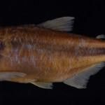colecoes_cientificas-peixes-holotipos-astyanax_xiru-mcp19986-01