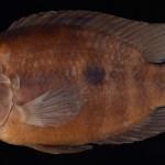 colecoes_cientificas-peixes-holotipos-australoheros_angiru-mcp13937-01