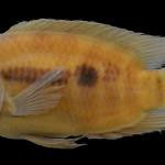 colecoes_cientificas-peixes-holotipos-australoheros_charrua-mcp13938-01