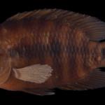 colecoes_cientificas-peixes-holotipos-australoheros_sanguineus-mcp14556-01