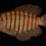 colecoes_cientificas-peixes-holotipos-austrolebias_nigrofasciatus-mcp21172-01