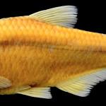 colecoes_cientificas-peixes-holotipos-bryconamericus_ecai-mcp19608-01