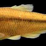 colecoes_cientificas-peixes-holotipos-bryconamericus_patriciae-mcp19615-01