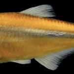 colecoes_cientificas-peixes-holotipos-bryconamericus_turiuba-mcp29414-01