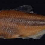colecoes_cientificas-peixes-holotipos-bryconops_piracolina-mcp44796-01