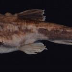 colecoes_cientificas-peixes-holotipos-bunocephalus_erodinae-mcp40877-02