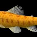 colecoes_cientificas-peixes-holotipos-characidium_serrano-mcp12488-01