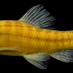 colecoes_cientificas-peixes-holotipos-characidium_vestigipinne-mcp20317-01