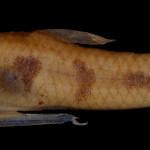 colecoes_cientificas-peixes-holotipos-cnesterodon_omorgmatos-mcp22741-01