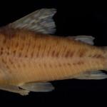 colecoes_cientificas-peixes-holotipos-corydoras_areio-mcp28675-02