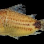 colecoes_cientificas-peixes-holotipos-corydoras_spectabilis-mcp28673-02