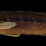 colecoes_cientificas-peixes-holotipos-crenicichla_empheres-mcp40960-01