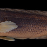 colecoes_cientificas-peixes-holotipos-crenicichla_gaucho-mcp14328-01