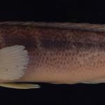 colecoes_cientificas-peixes-holotipos-crenicichla_jurubi-mcp14326-01
